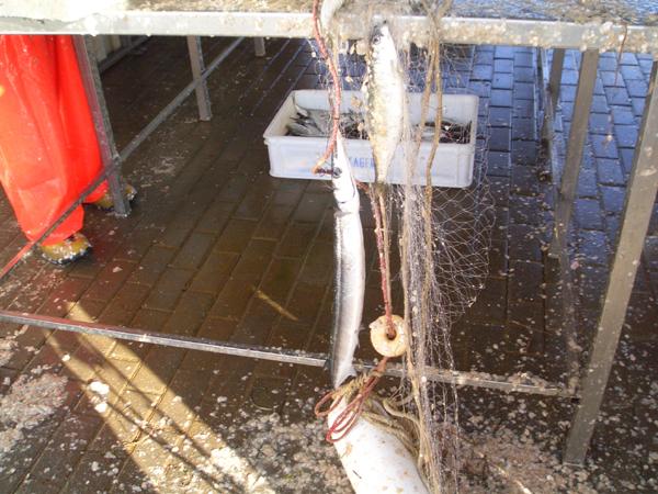 Beweisfoto: die Fischer fangen die ersten Kisten Hornis